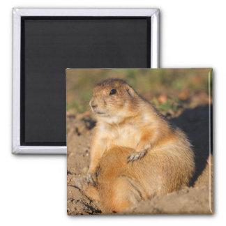 prairie dog square magnet