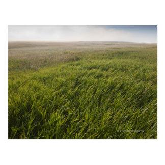 Prairie Grass Postcard