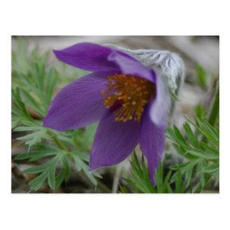 Prairie Pasque North South Dakota state flower Postcard