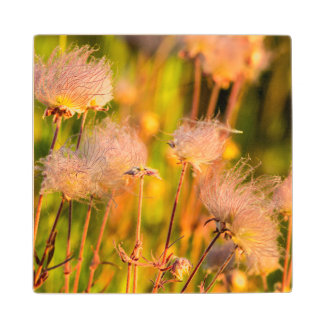 Prairie Smoke Wildflowers In Aspen Grove Wood Coaster