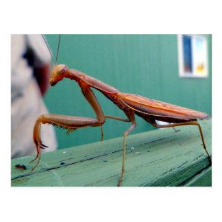 Praying Mantis & ant Postcard