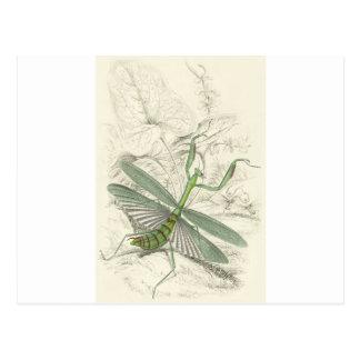 Praying Mantis, Mantis Religiosa Postcard