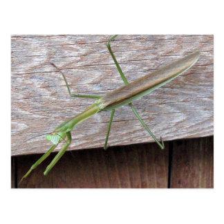 Praying Mantis Post Cards