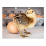 Precious Baby Chick and Eggs Postcard