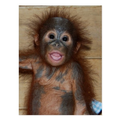 Precious Baby Orangutan in Diapers at Orphanage Post Cards