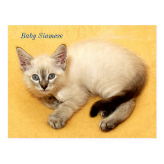 Precious Baby Siamese Cat Resting Post Card