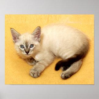 Precious Baby Siamese Cat Resting Print