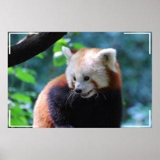 Precious Red Panda Bear Posters