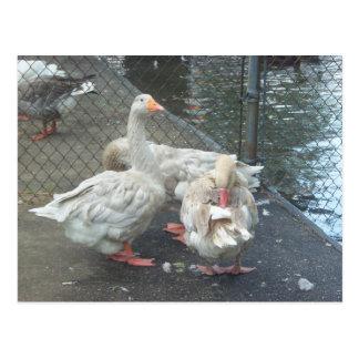 Preening Geese Postcard