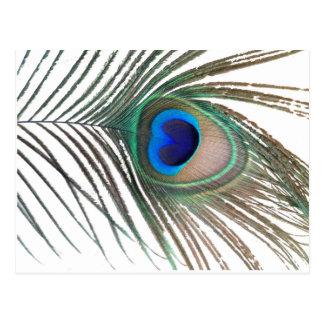Prestigious Peacock Postcard