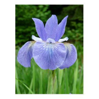 Pretty Blue Indigo Siberian Iris Flower Bloom Postcard