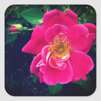 Pretty in Pink Rose Square Sticker