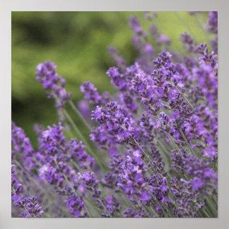 Pretty Lavender Fields Poster