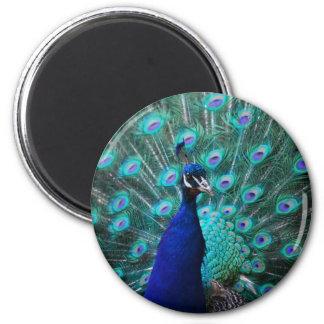 Pretty Peacock Magnet Fridge Magnets