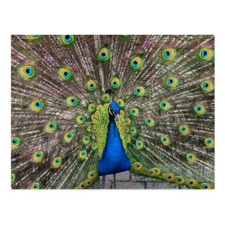 Pretty Peacock Postcard