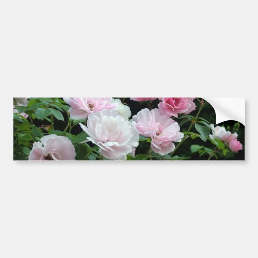 pretty pink and white rose flower bushes. Floral, Bumper Sticker