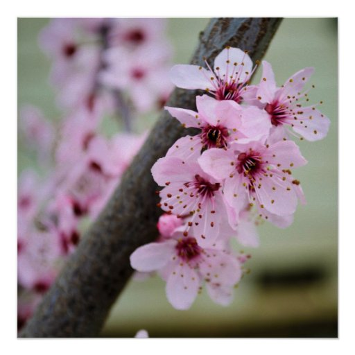 Pretty Pink Cherry Blossom Flowers Posters