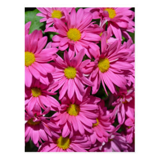 Pretty pink chrysanthemum flowers print postcard