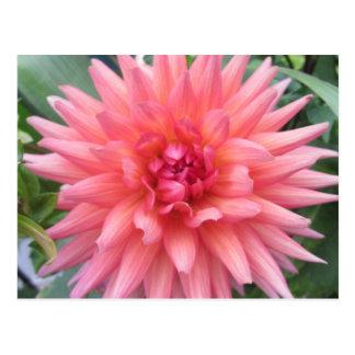Pretty Pink Dahlia Flower Postcard