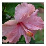 Pretty Pink Hibiscus Print