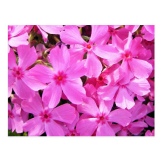 Pretty Pink Phlox Postcard