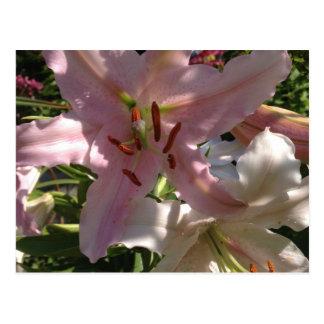 Pretty Pink Stargazer Lilies Postcard