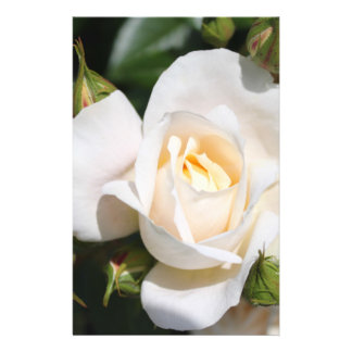 pretty pure white rose flower. floral photo art. full color flyer
