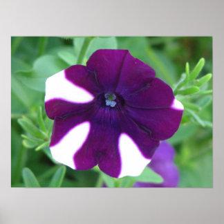 Pretty Purple Petunia Poster