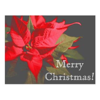 Pretty Red Poinsettia Flower Merry Christmas Postcard