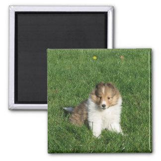 Pretty sheltie puppy sitting in grass magnet