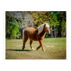 Pretty Shetland Pony Postcard