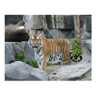 Pretty Tiger Postcards