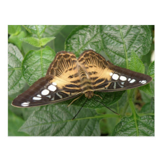 Pretty Tropical Clipper Butterfly Postcard