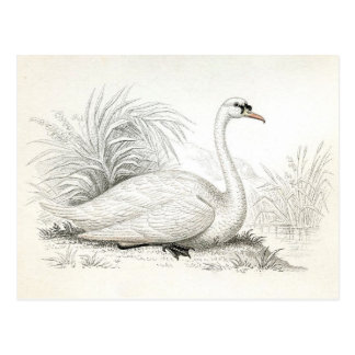 Pretty Vintage Swan Illustration Postcard