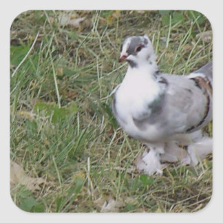 Pretty White and Gray Fancy Feather Footed Pigeon Sticker