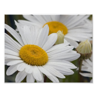 Pretty White Daisies Poster