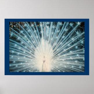 Pretty White Peacock Poster Print