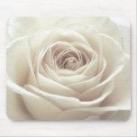 Pretty white rose