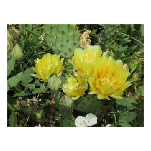 Prickly Pear Blooming Opuntia Poster