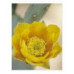 Prickly pear cactus in bloom, Arizona-Sonora Postcard