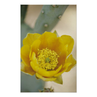 Prickly pear cactus in bloom, Arizona-Sonora Poster
