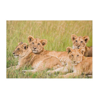 Pride of Lion Cubs Acrylic Print