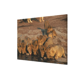 Pride of Lions Drinking Canvas Prints
