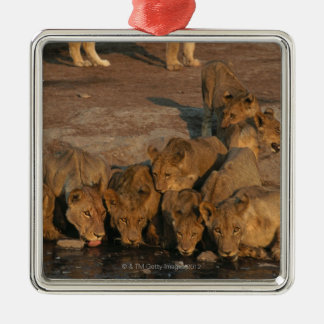 Pride of Lions Drinking Christmas Ornament