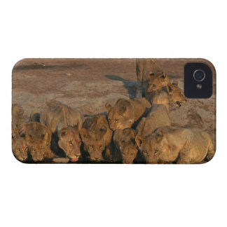 Pride of Lions Drinking iPhone 4 Case-Mate Case