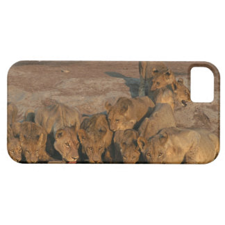 Pride of Lions Drinking iPhone 5 Cases