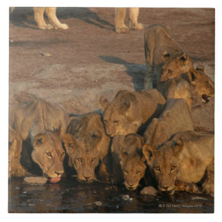 Pride of Lions Drinking Tile