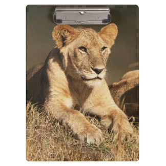 Pride of young male Lions Clipboard