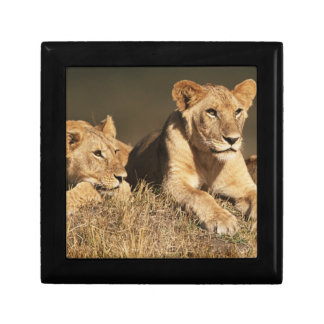 Pride of young male Lions Small Square Gift Box