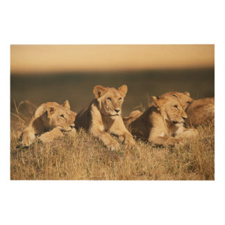 Pride of young male Lions Wood Print